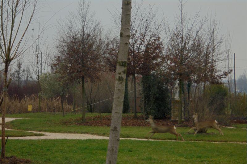 Una visita inattesa: un gruppo di caprioli corre e gioca nel nostro parco!