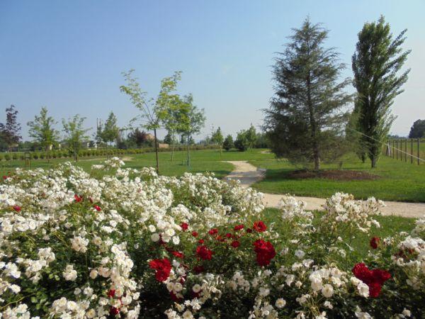 Le regine del parco arrivano a Maggio ! (bordure di rose rifiorenti)