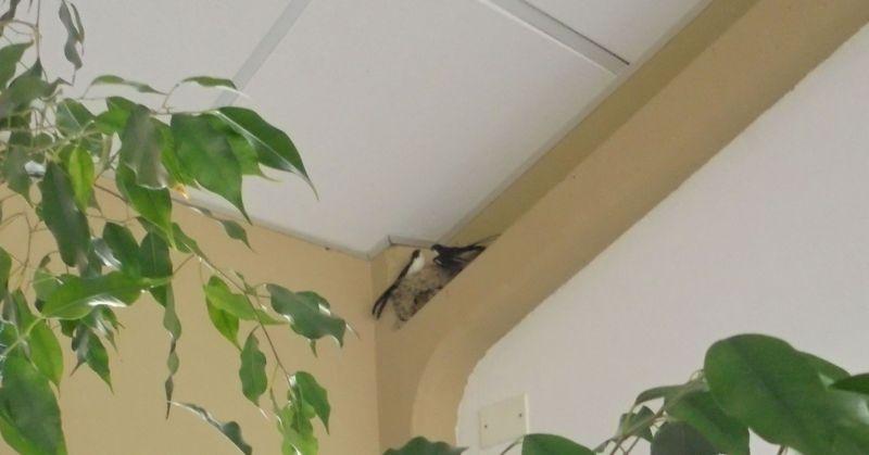 particolare rondini sulla trave con il nido vero
