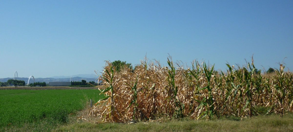 La nostra coltivazione di mais a ridosso dei Ponti di Calatrava: una produzione d'autore!