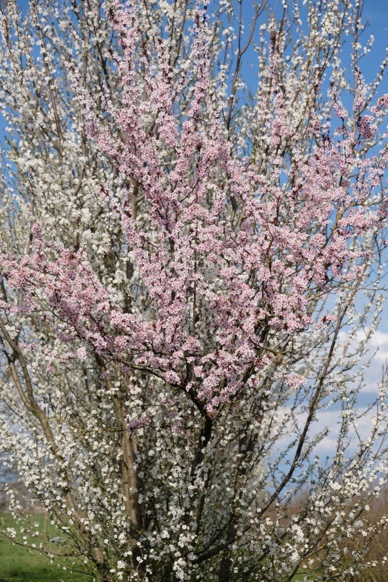 Particolare: un ramo di fiori rosa tra i fiori bianchi