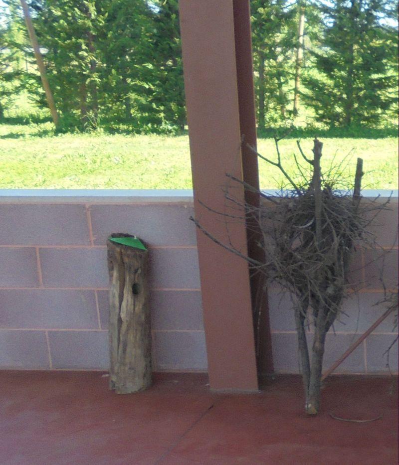 Il nido del picchio è perfettamente rotondo, all'interno del tronco di pioppo....   ma quello della Gazza, sul ramo di fianco è.... enorme!