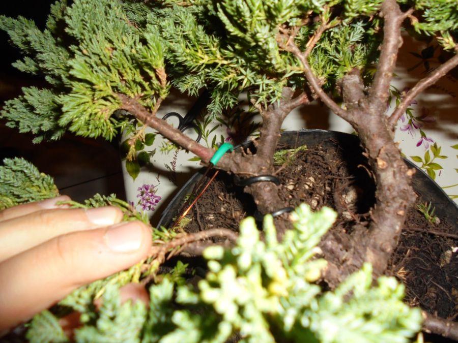 Che pazienza posizionare il filo e a volte serve un tutore per proteggere il ramo....
