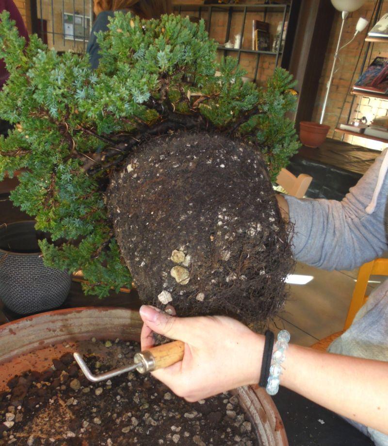 Ogni corsista col suo Bonsai, lo abbiamo estratto dal vaso di coltivazione iniziale: ecco la grande zolla che deve essere molto rimpicciolita!