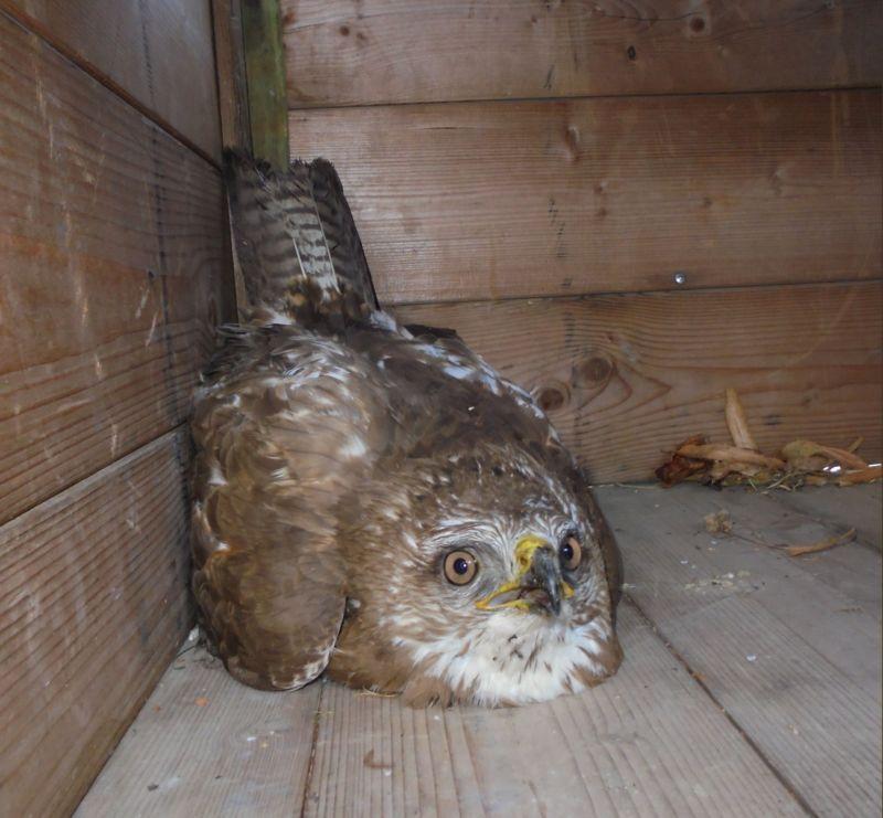 La riponiamo in un contenitore di legno con un telo sopra, in attesa dell'arrivo degli operatori del Rifugio Matildico che si occupano degli animali selvatici in difficoltà