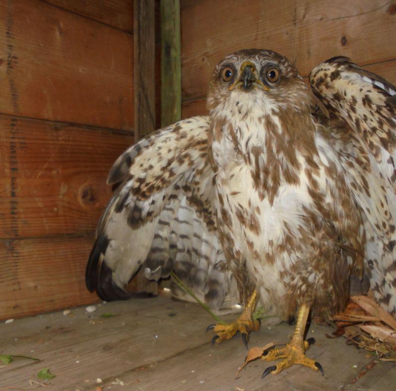 La poiana è agitata, apre le ali e mette in evidenza il suo 'problema' all'ala destra... E' grande, attenti agli artigli, il suo piumaggio è bellissimo!